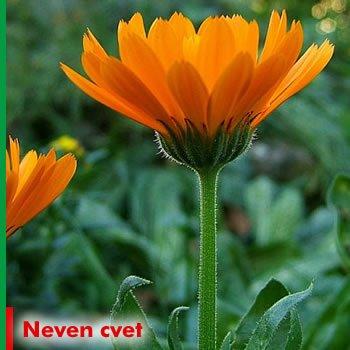 neven-cvet