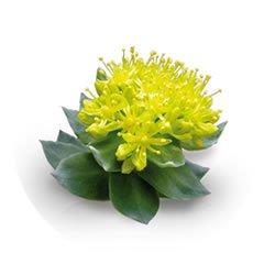 Carska-biljka